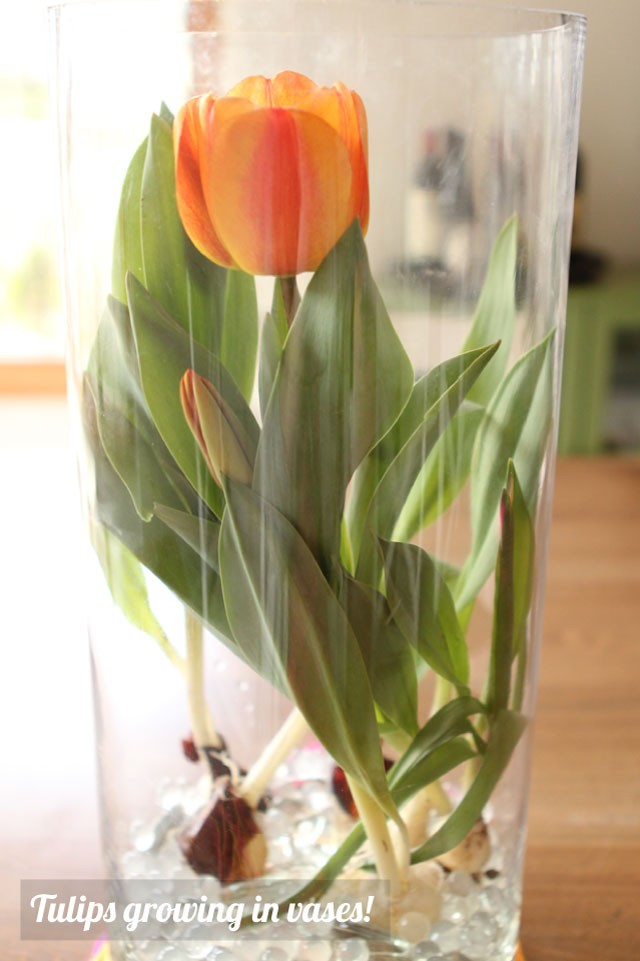 Growing tulip bulbs inside vases for Mother's Day - this is such a unique and beautiful way to give someone flowers - perfect for Mother's Day!